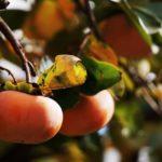 「柿」を英語で!読み方や発音方法【kakiで通じる国も】