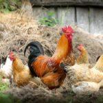 「鶏」は英語でなんて言う?【英語の鳴き声も】