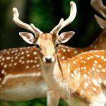 「鹿」を英語で!雄鹿や雌鹿など【バンビは小鹿?】